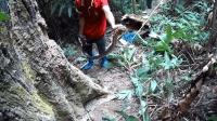 植被茂密的丛林里, 男子徒手伸进树洞, 抓出6斤重的眼镜蛇
