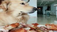 主人在两只金毛犬前面放一盘肉肉, 测试俩狗会不会偷吃