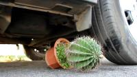 当汽车碾过仙人球会怎样? 你猜它能坚持几秒? 一起来看看吧