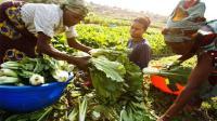中国人将种菜绝技教给非洲人, 荒地变农场, 白菜比手臂还长!