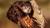 全球最大的猫头鹰, 一窝生四个, 只有吃掉所有兄弟才能活下来