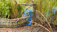 农村小哥织网兜捕蛇, 看看他是如何捕到一条30斤重的大蟒蛇, 厉害了