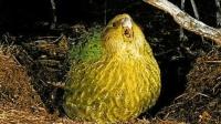 鸟类中的傻白甜, 经常因以为自己会飞而摔死, 傻到濒临灭绝!