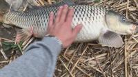 钓鱼技巧9,产卵期的鲤鱼到底吃不吃食?这个视频可以告诉你,可为您作钓提供参考