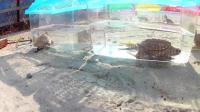 饲养了几十个鳄龟