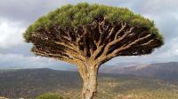 世界上最神奇的树, 一年走20米, 树干里藏了2吨水