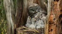 猫头鹰爸爸负责抓老鼠, 妈妈带小猫头鹰, 小猫头鹰整条往下吞老鼠