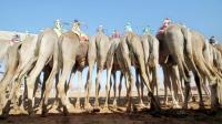 科技时代 沙特人怎么玩骆驼?