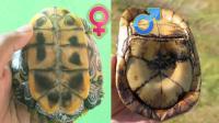 如何分辨一只乌龟的公母? 这里面还真有学问