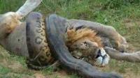 巨蟒一口咬住了狮子, 谁知道结果却是如此凄惨