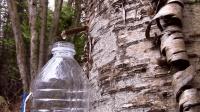丛林生存没水喝怎么办? 教你从树里取水, 就有喝不完的干净水