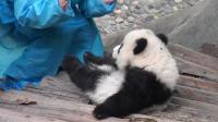 熊猫宝宝索要抱抱不成, 使出了绝招, 反应让人哭笑不得