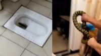 女孩家中欲洗澡 蹲便器内竟钻出一条大蛇