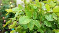 盆栽月季缺素症怎么处理