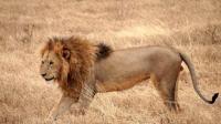 实拍: 4头狮子被它追着咬, 到底是谁给它的勇气?