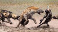 两只鬣狗被一群野狗围住, 鬣狗动作直接出卖了人品, 简直不忍直视
