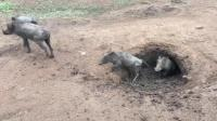 实拍野猪洞里有多少野猪, 直到最后一只走出来, 只有一个字服!