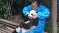 熊猫宝宝玩到一半, 就被奶妈撸成小V脸, 反应笑翻众人
