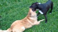 出门遛狗, 不小心让名贵犬怀上了土狗的崽, 土狗主人表示很冤