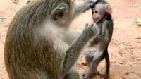 猴子妈妈教育宝宝的方式太粗暴了, 网友: 一定不是亲生的!