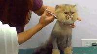 主人将大脸猫的毛被剃掉了, 眼神里的那个恨啊!