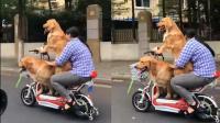 """宠物狗街头""""炫车技"""" 花式载人骑电车"""