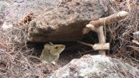 一块石头就能抓到老鼠, 最简单的捕鼠陷阱, 老鼠插翅难逃