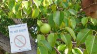 世界上最危险的水果, 毒性惊人不易分辨, 你知道几个?
