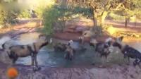 退无可退: 疣猪被一群疯狂的野狗逼入水中, 拖上岸会有生还可能吗?