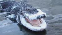 突降暴雪, 鳄鱼这种冷血动物日子不好过, 曾经的王者被冻成宠物!