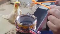 主人在鹦鹉面前敲鼓, 这货可不是认怂的主!