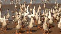 菜市场鸡鸭卖的有很多, 偏偏鹅却非常少见, 看完你就知道了