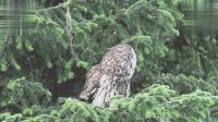 【秒拍大自然·24期】四川林鸮