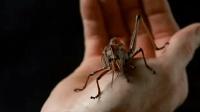 """【扒界】一种变异蝗虫, 免疫所有杀虫剂, 疯狂攻击美国, 厉害了我的""""蚱蜢"""""""