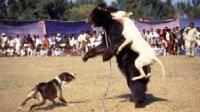 斗兽场熊狗大战 场面壮烈血肉模糊 熊的一生受尽痛苦折磨