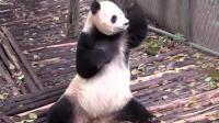 正仰望天空的熊猫, 不小心被一截水管打懵圈后, 反应亮了