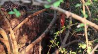 澳洲小哥  荒野求生 野外生存 生存哥 加固小屋墙壁
