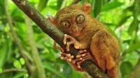 世界上最小的猴子 和老鼠一样大 就像是外星来的生物