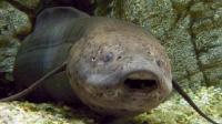 传说中的不死鱼 不吃不喝能睡4年 躲在非洲人土墙里