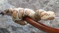 外国老大爷用木头雕刻蟒蛇手杖, 太逼真把狗狗都吓一跳!