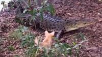 被吃掉了 勇斗鳄鱼的澳洲小狗