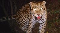 """实拍我国特有的豹子""""中国豹 """"  一跃可达6米高12米远"""
