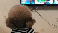 泰迪看动画片入迷, 当主人说关电视它才扭头