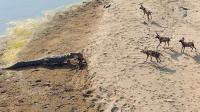 鳄鱼上岸挑衅野狗群 没想到会是这样的结局 不作死就不会死
