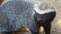 """平头哥蜜獾的""""孪生兄弟"""" 吃响尾蛇就像是在吃辣条"""
