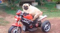 狗狗中也有车迷:自从它们学会来车,江湖上就有了这些传说!