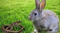 兔妈为护崽暴揍黑蛇 蛇兔大战惊心动魄