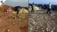 神奇! 鸡蛋扔垃圾场孵数百小鸡