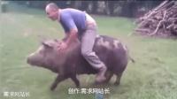 骑猪大赛排行榜 骑猪比赛 美女骑猪 太搞笑
