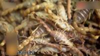 居然有人迷恋吃虫子 它是名贵药材 也是上等食材 你敢吃吗